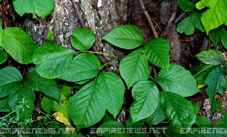 Botanist Tries To Save Poison Ivy From Being Placed on Endangered Species List