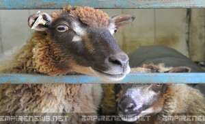 County Fair Sheep Tests Positive For Anthrax