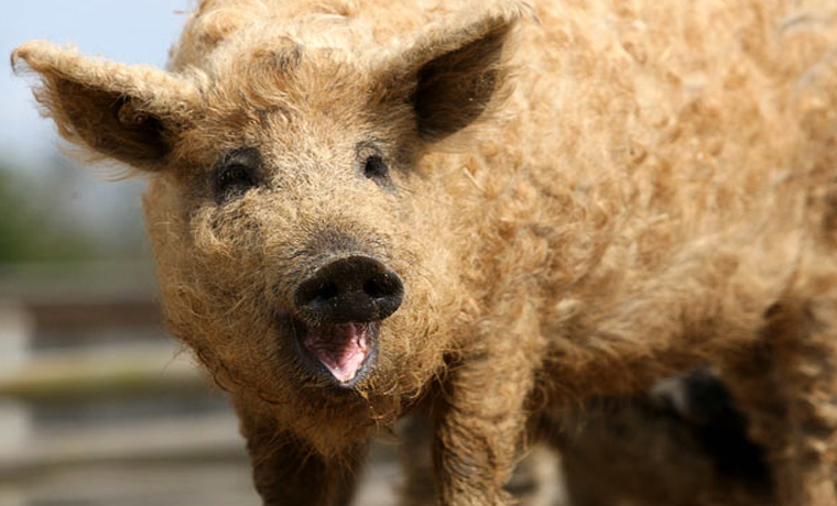 Elusive Woolly Pig Found Living in Serbia, Plan to Fight for Their Survival