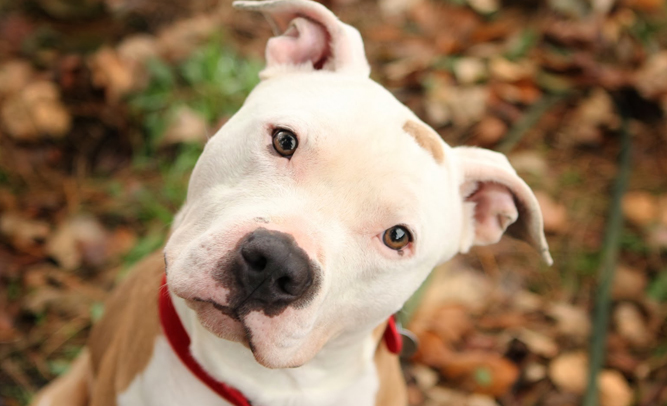 Congress Passes Law Banning Pit Bull Ownership After Another Attack, Death