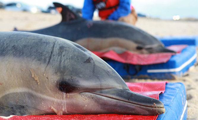 Miami Coast Guard Rescues Hundreds of Dolphins Stranded in the Ocean