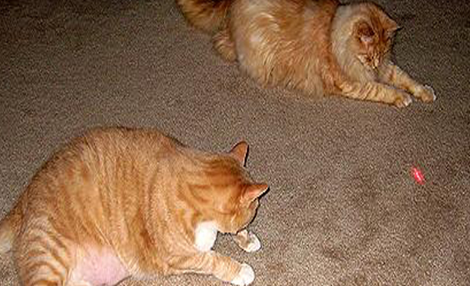 Kids Lure Cats to Death with Laser Pointer