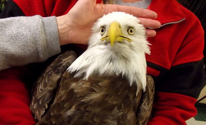 Man Arrested for Eating Bald Eagle